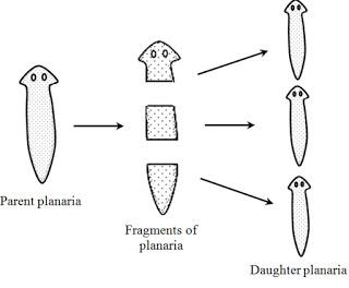 fragmentasyon ne demek tıp