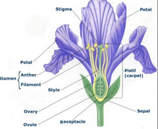 Sexual reproduction in a flower