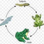 Metamorphosis in frog