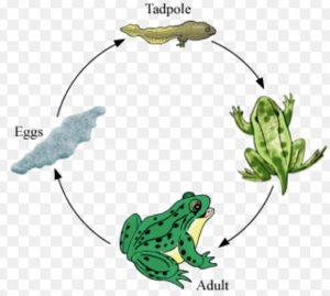 Metamorphosis in frog