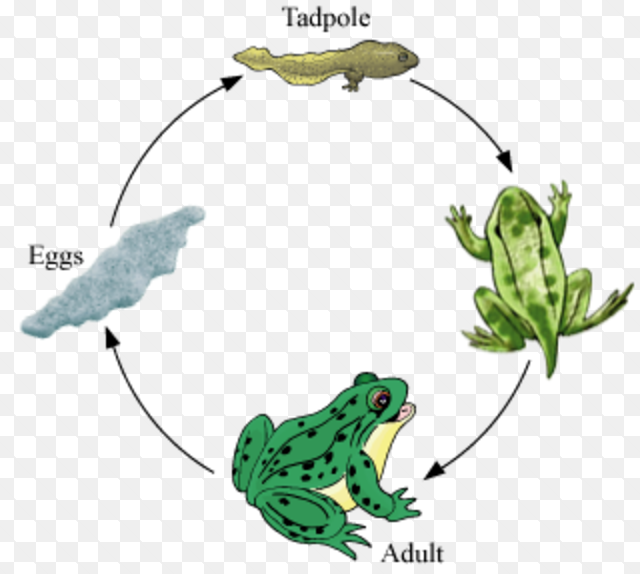 Metamorphosis Class 8 Reproduction In Animals