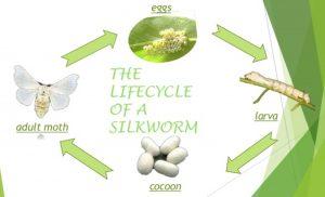 Metamorphosis of a silkworm
