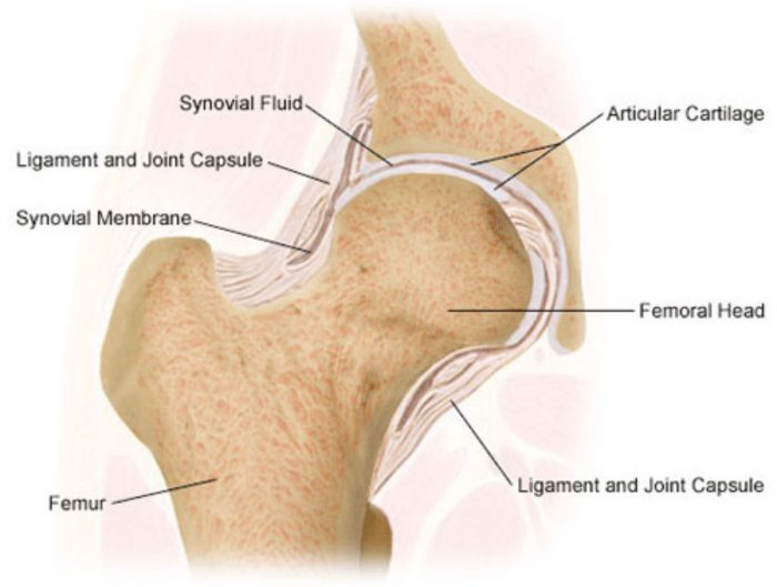 Ball and socket joint in hip
