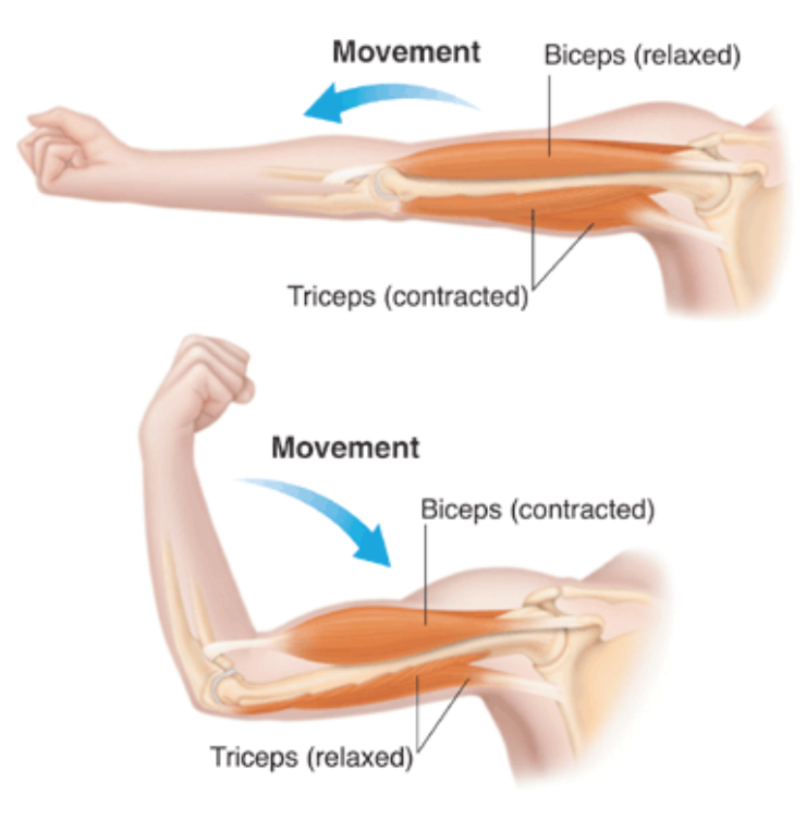 Muscle Contraction and Movement in Animals | Body Movements, Class 6