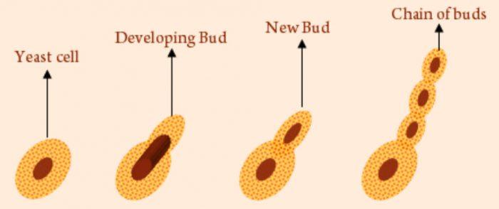 Budding in yeast