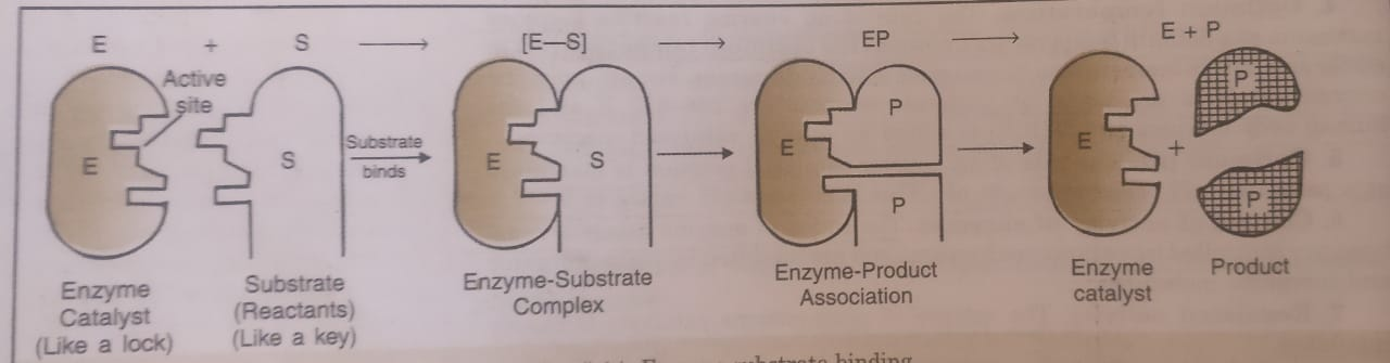 Enzyme Substrate Binding
