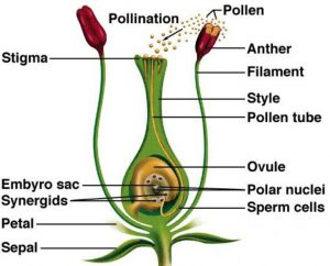 Fertilisation in a flower
