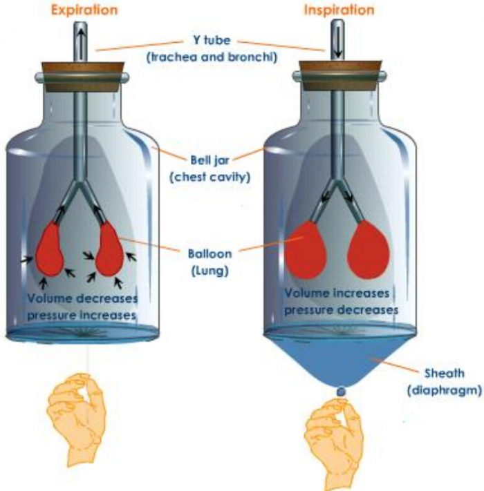 Mechanism of breathing Activity