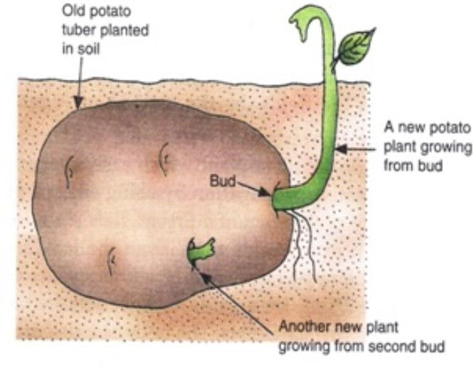 Potato tuber