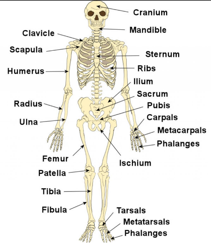 Skeleton Framework Of Bones Body Movements Class 6