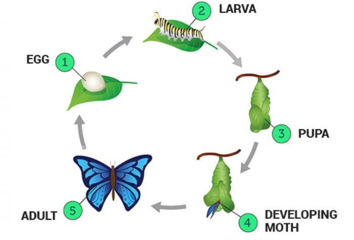 life history of silk moth